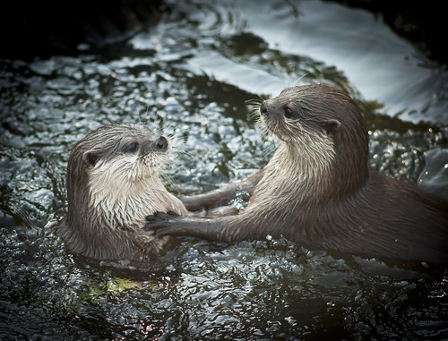 two otters floating with their heads and forequarters out of the water. One has placed its paws on the other's chest, as though telling it something very important.
