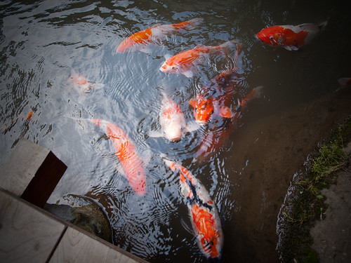 Carps In The Pond