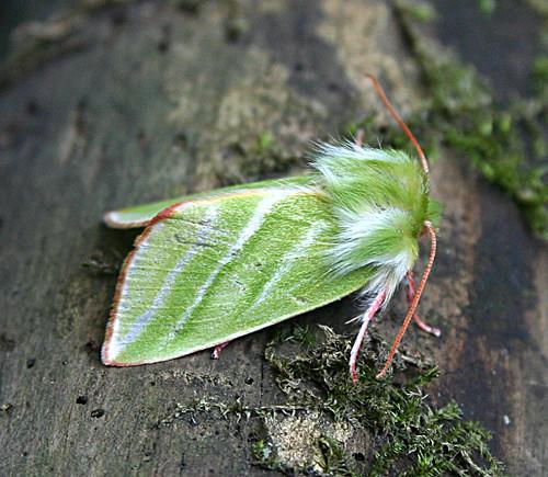Green Silver-lines Pseudoips prasinana Tophill Low NR, East Yorkshire June 2013