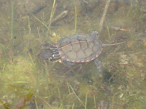 Go turtle go
