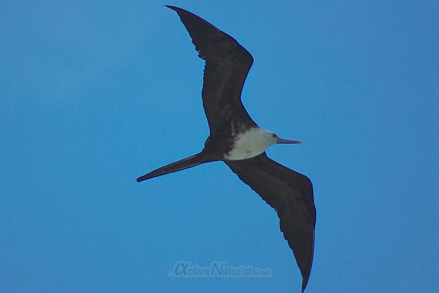 frigatebird 0011 Sian Kaan beach, Quintana Roo, Mexico.jpg