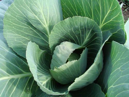 CabbageMay