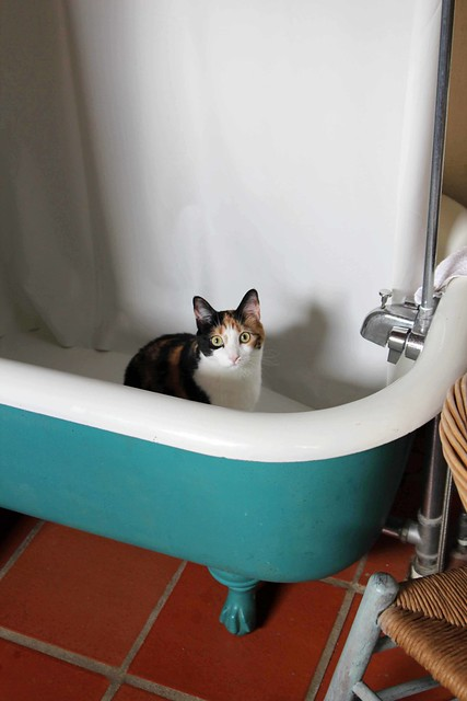Cat in a claw foot tub