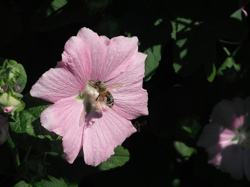 Honeybee on Hollyhock