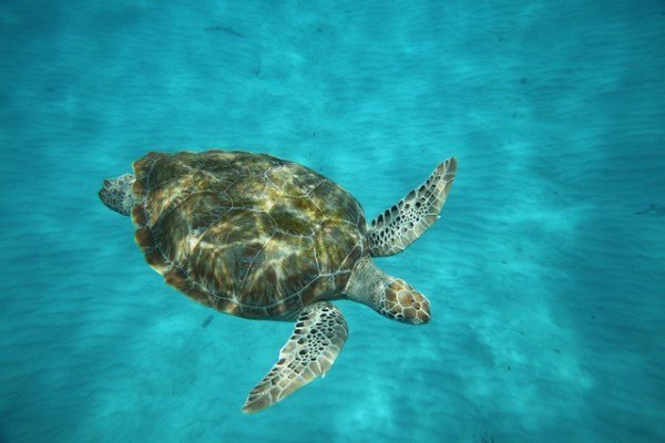 Turtle in Barbados