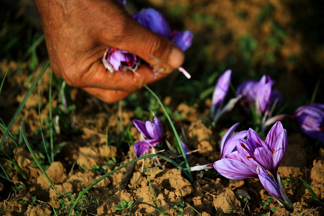 Saffron flower@Kashmir