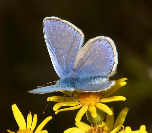 Common Blue (Polyommatus icarus), m