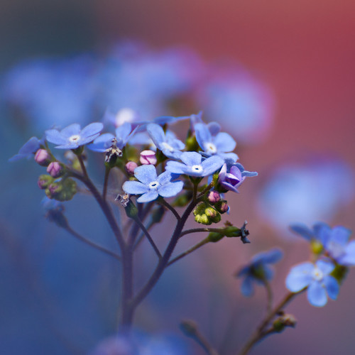 forget-me-not 2
