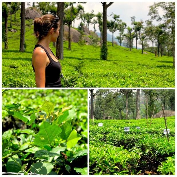 Plantaciones de té en Munnar
