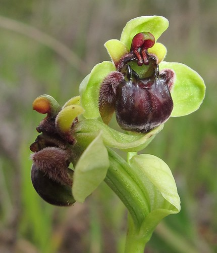Beefly Orchids - Orphrys bombyliflora