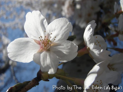 Cherry Blossom at Pumphouse Park, NYC