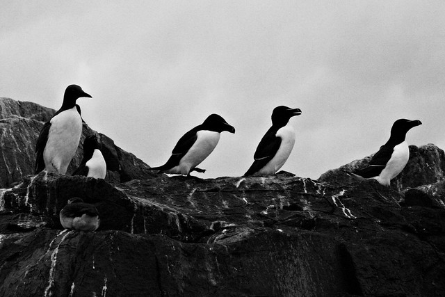 Guillemot and razorbills