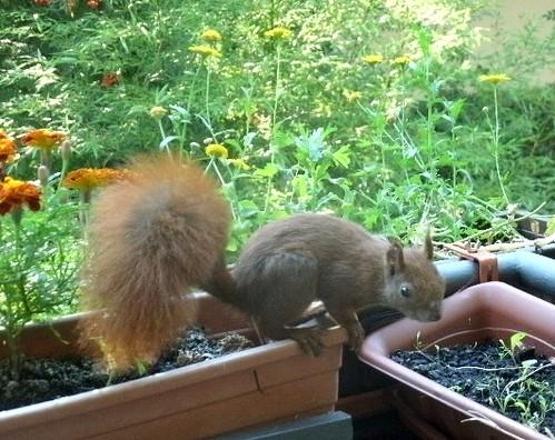 Hörnchen auf dem Balkon 2