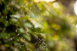 Spider and Pearls