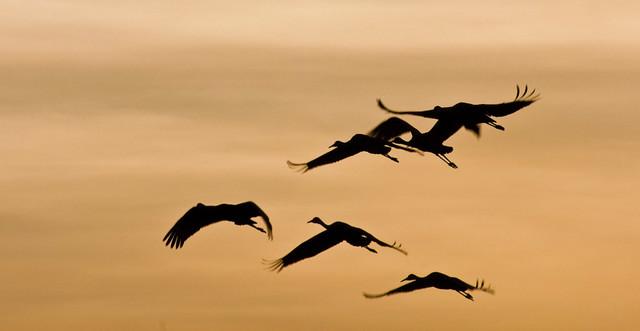 Heading Home -- Sandhill Cranes ( Grus canadensis); Ladd Gordon Waterfowl Complex, Bernado, NM [Lou Feltz]