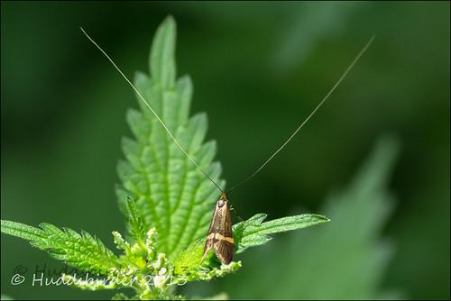 Yellow Barred Longhorn Moth