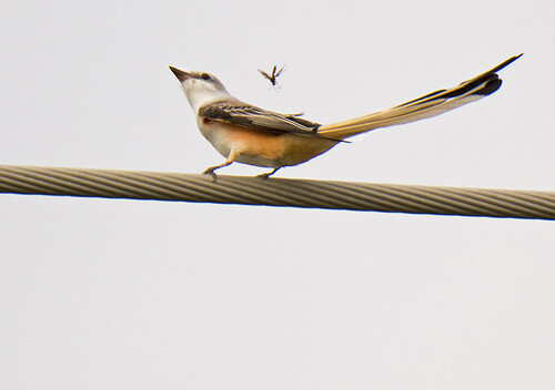 TX: Scissor-tailed Flycatcher Smells a Dragonfly