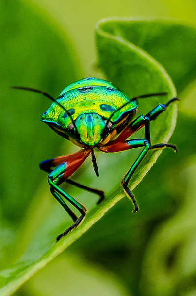 Jewel bug Chrysocoris stolli
