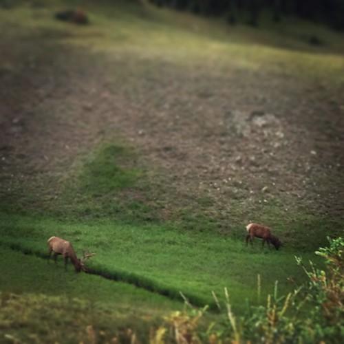 Elk in #colorado by @MySoDotCom