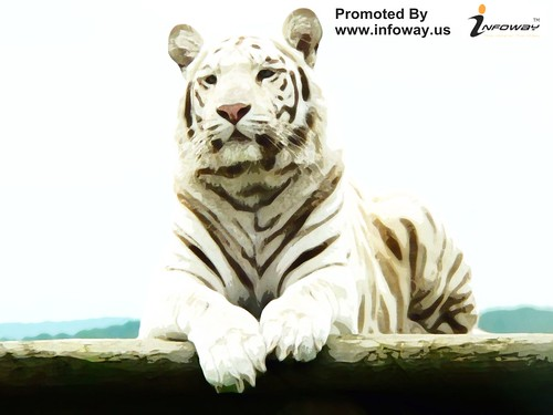 white bengal tiger wallpaper  hd wallpapers