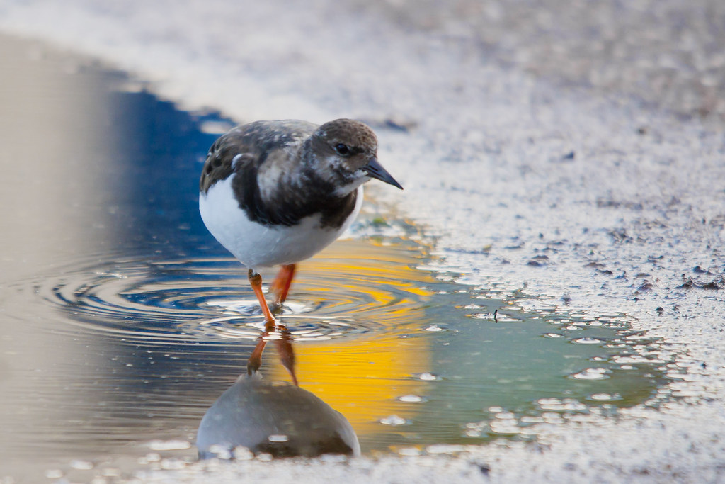 Turnstone Reflections