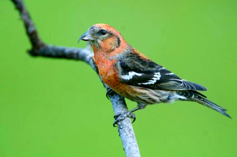 This White-Winged Crossbill shows the squat position that locks his claws on the limb