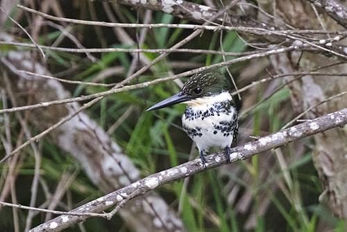 TX: Green Kingfisher, Female