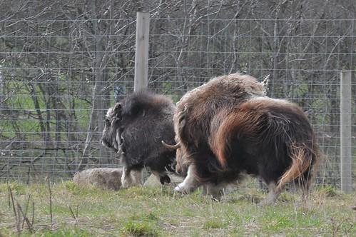 Moschusochsen im Skandinavisk Dyrepark in Kolind
