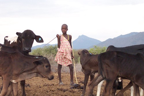 Maasai boy with cows vaccinated against East Coast fever