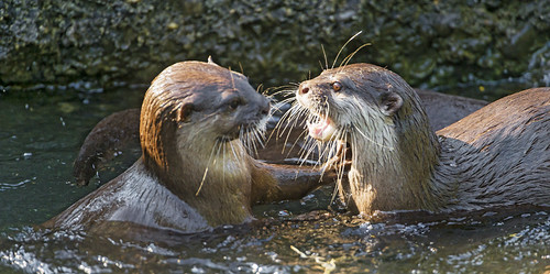 Two otters facing each other in shallow water near the edge of a stream. One has its mouth and eyes open wide, as if shouting or attacking. The other otter has a serious face and has its paw up against the other's chest, as if to say 'stop right there, buddy.'