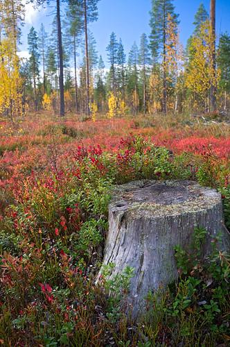 Autumn colours, Sodankylä, Lapland