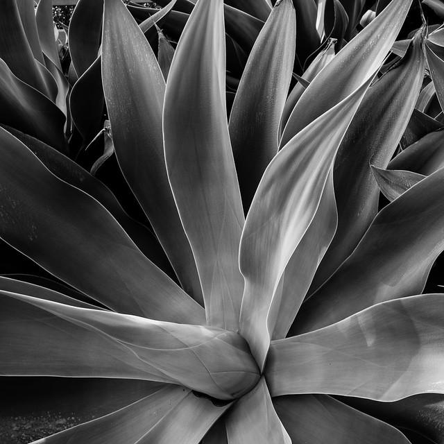 Succulent 1 (RAW)