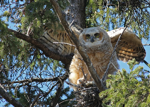 Great Horned Owlet...#37 by Blackcat Photography