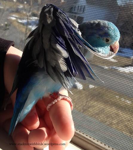 Tiny Preening Parrot