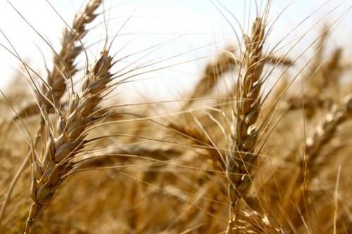 Good lookin' wheat!