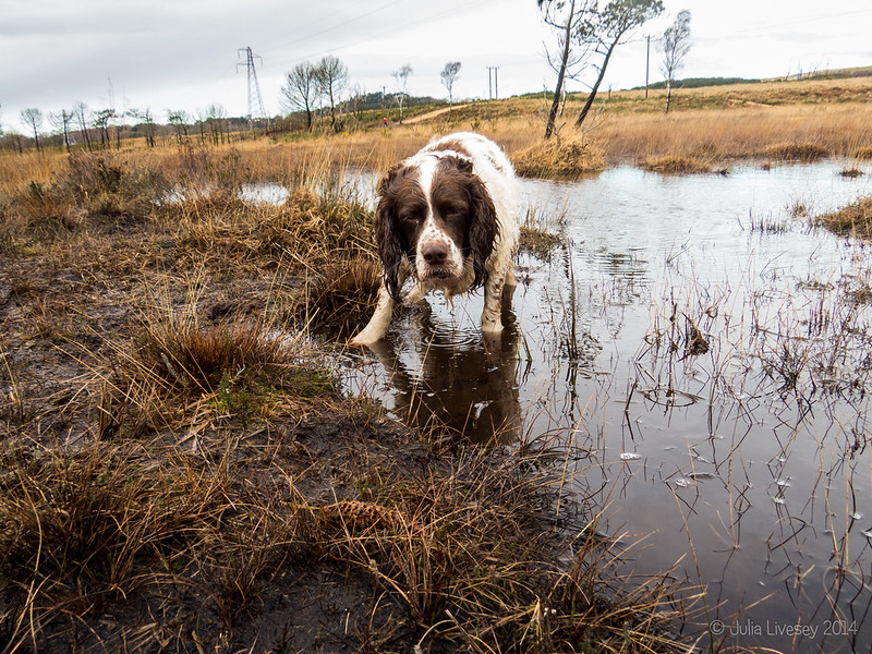 Wet dog in a boggy pool
