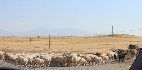 IMG_7286_sheep-crossing