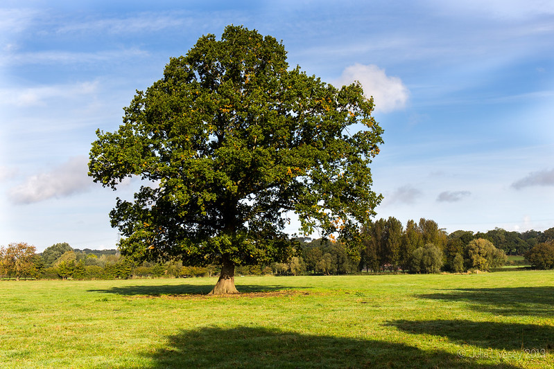 The oak tree