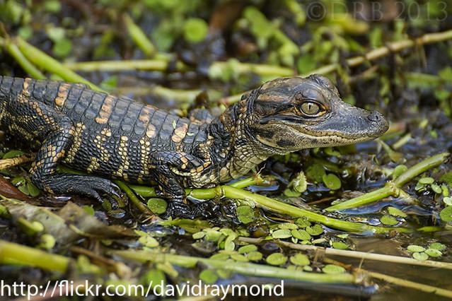 Baby Gator in Wetlands