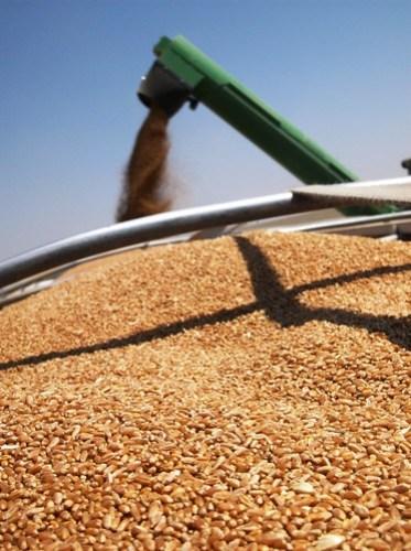 Wheat in the grain trailer