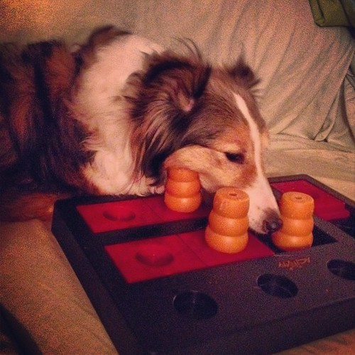 Maggie's first attempt at a dog puzzle. She may not be at Cupcake's level yet, but she wasn't afraid to try! Go Maggie!