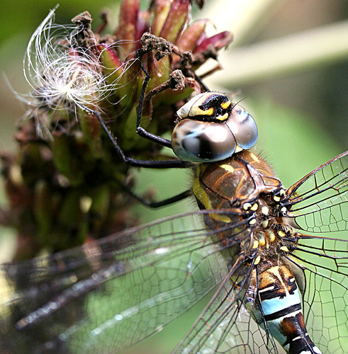 Migrant Hawker Aeshna mixta Tophill Low NR, East Yorkshire September 2013