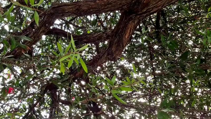 Birds Songs In a Bottlebrush Tree
