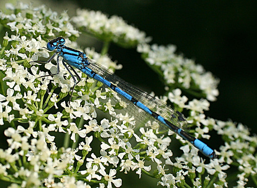Common Blue Damselfly Enallagma cyathigerum Tophill Low NR, East Yorkshire July 2013
