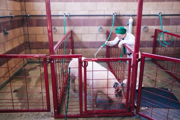 Washing Down The Piggie