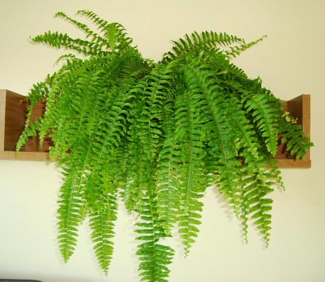 boston-fern-ourhouseplant