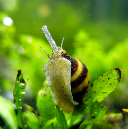 Assassin Snail - Clea Helena