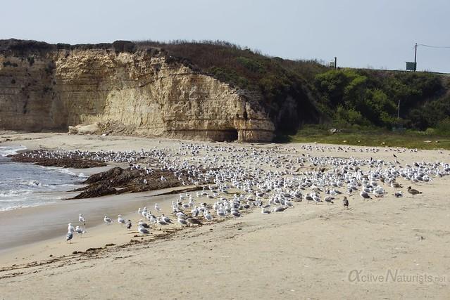 gulls 0001 4 Mile Beach, CA, USA