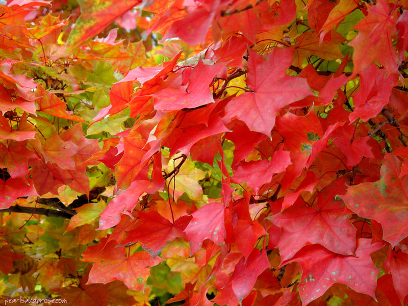 SF_red_foliage_web