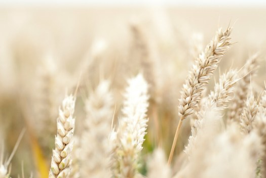 Summer Wheat Field, by Pixelglo Photography